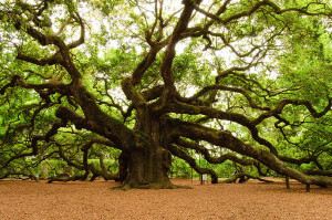 Angel-Oak-Tree